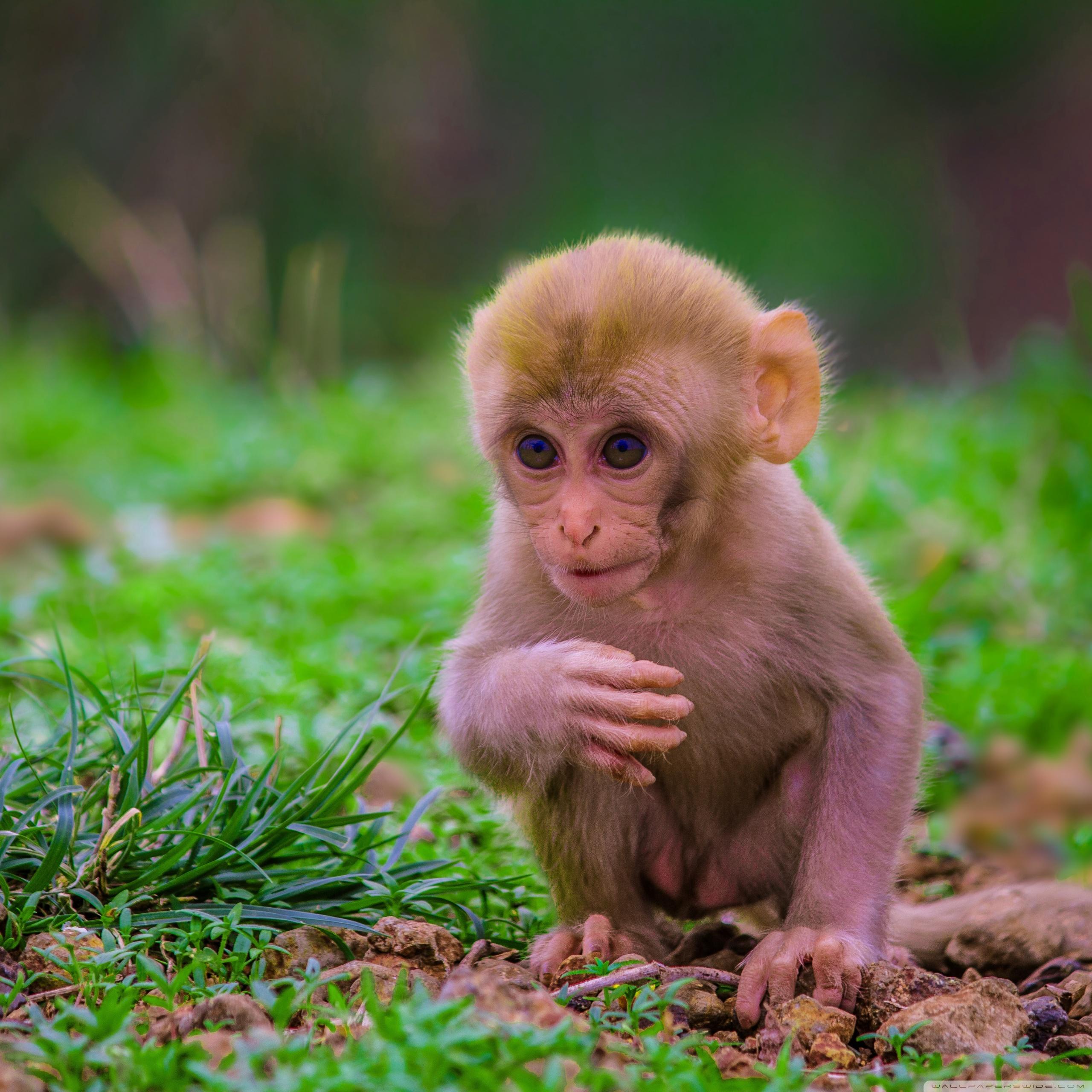 Cute baby monkey 4k hd desktop wallpaper for 4k ultra hd tv tablet 11 voltagebd Image collections