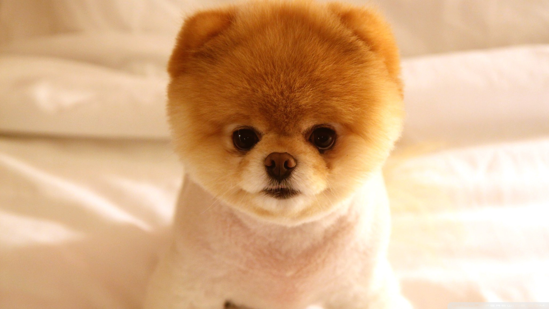 Simple Boo Army Adorable Dog - cute_dog_boo-wallpaper-1920x1080  HD_74465  .jpg