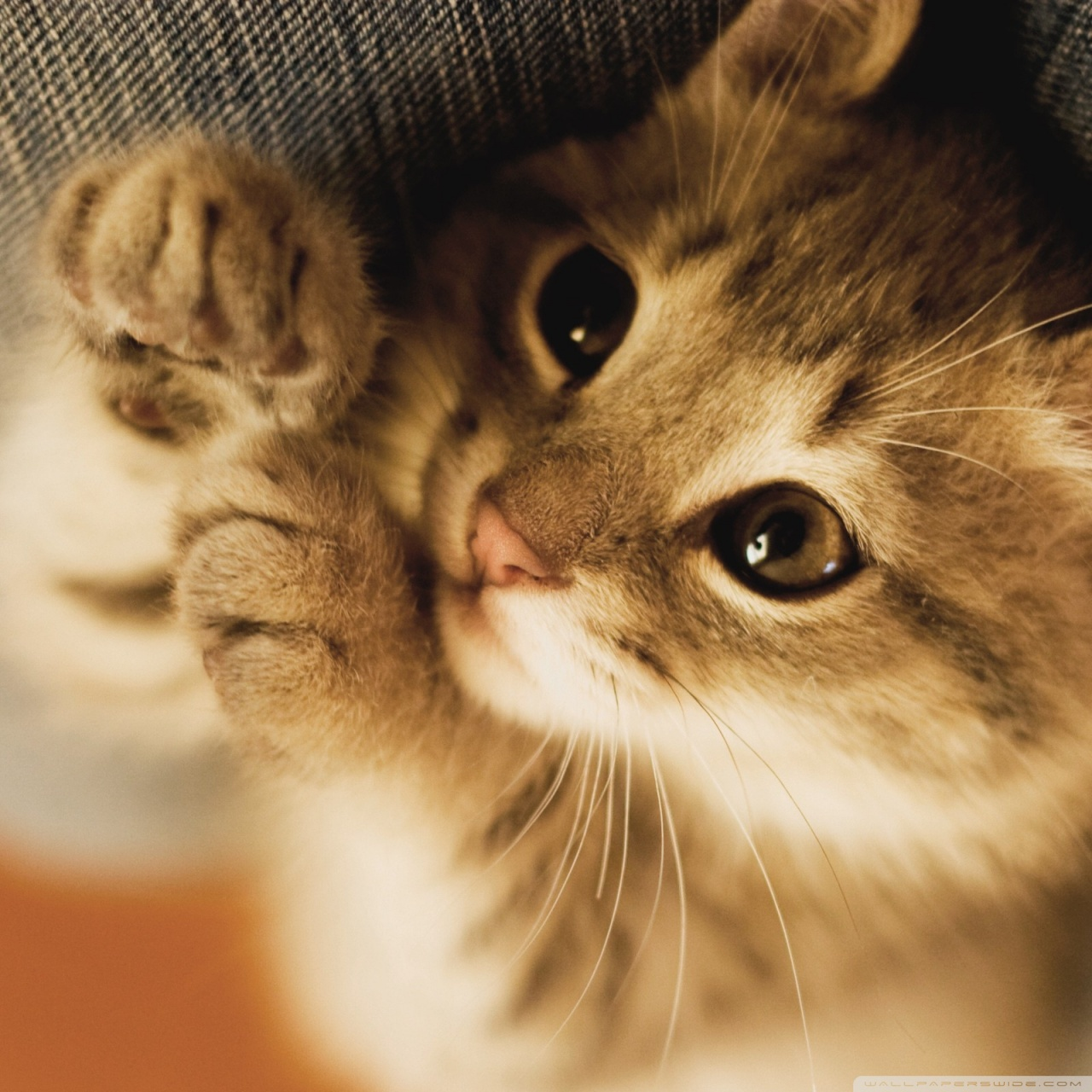 Cute Lazy Kitten 4K HD Desktop Wallpaper For Ultra TV