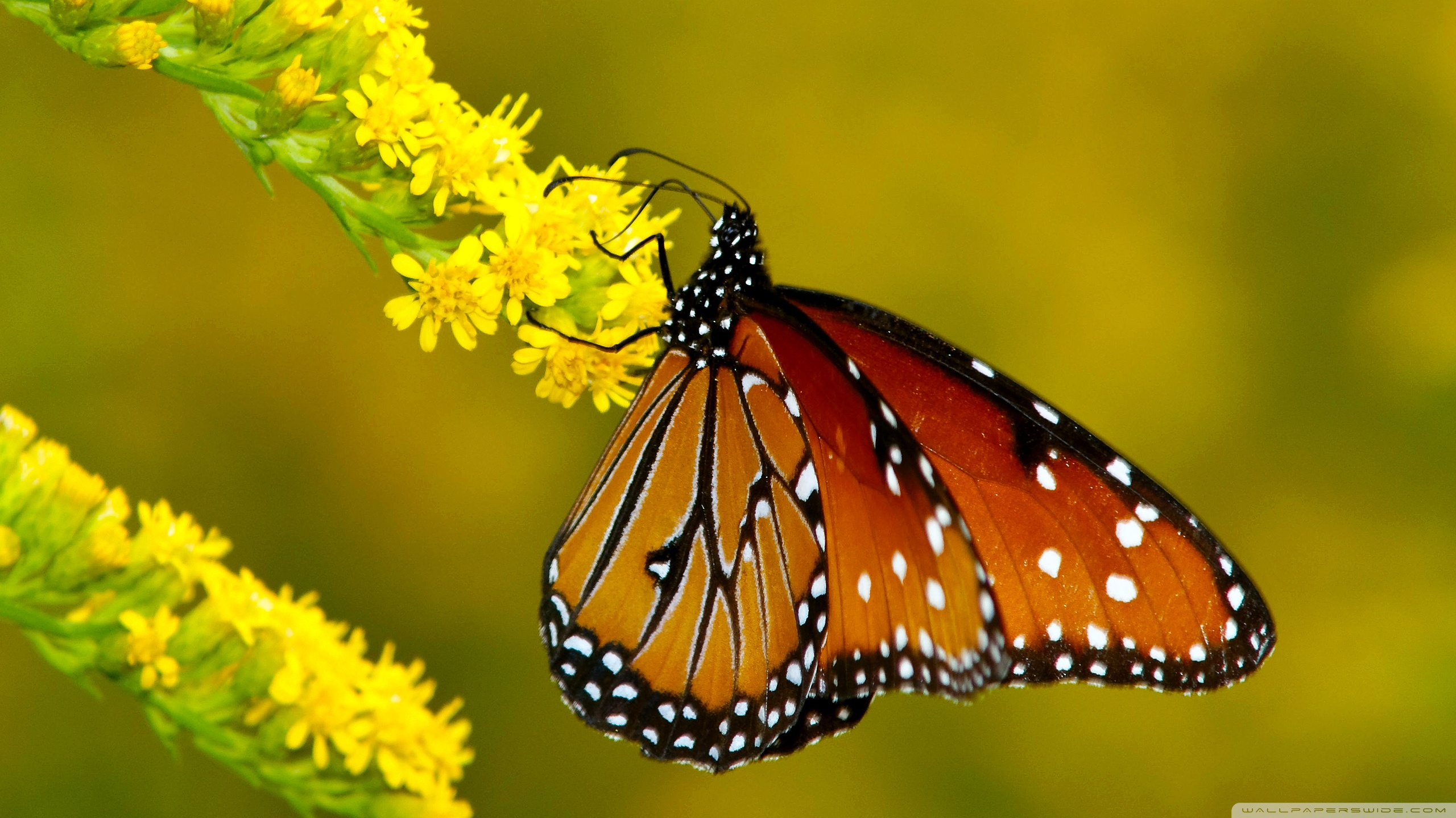 Photo Collection Butterfly Wallpaper Hd 16