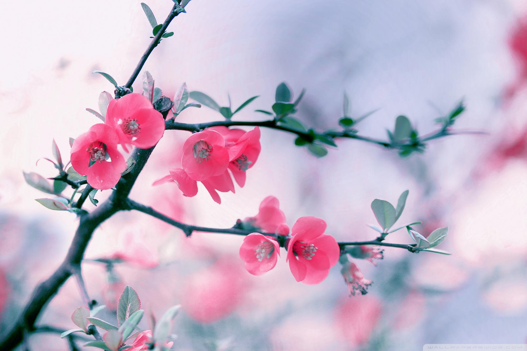 pink blossom flowers, spring ❤ 4k hd desktop wallpaper for 4k ultra