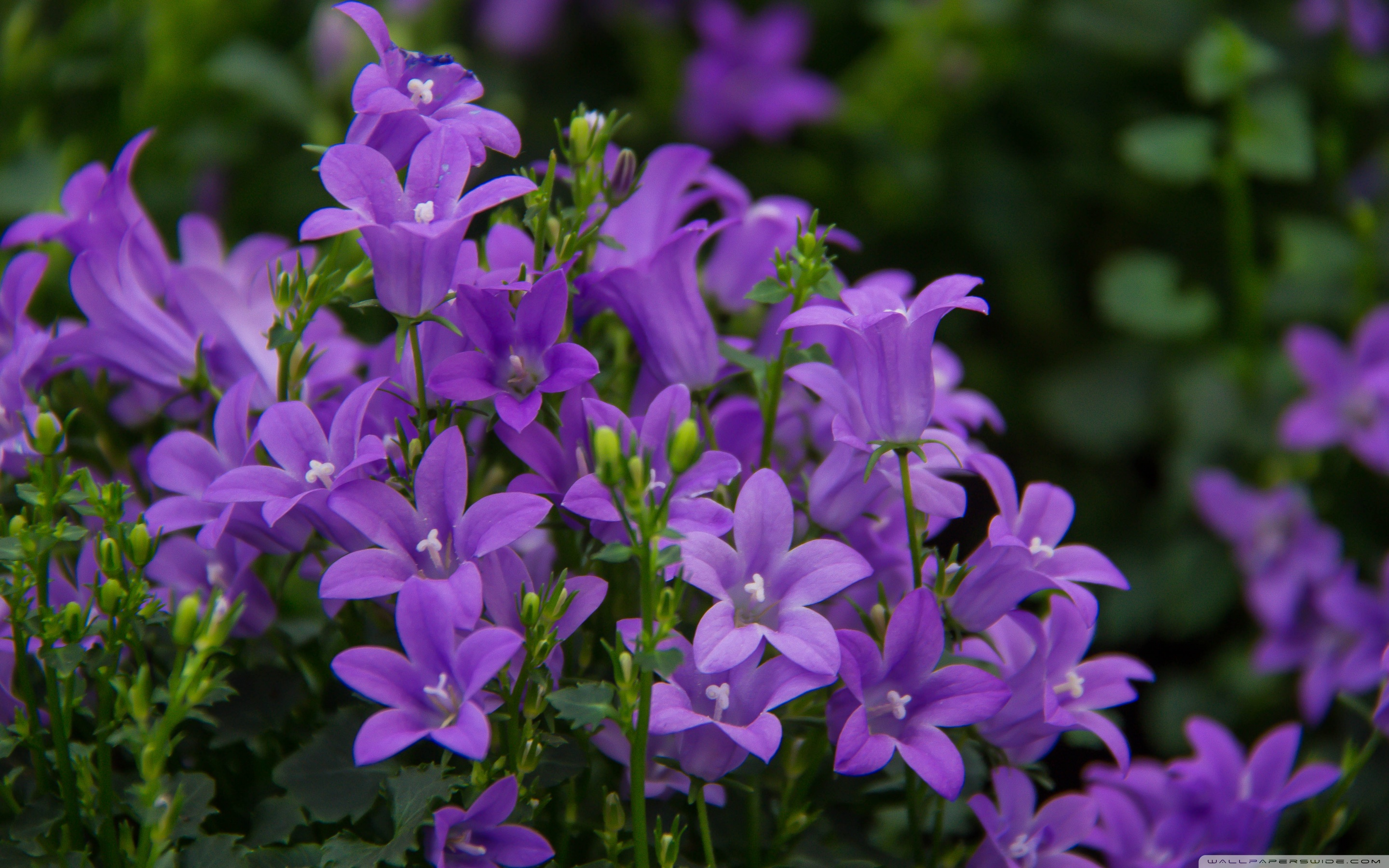 Pretty purple flowers 4k hd desktop wallpaper for 4k ultra hd tv wide 1610 mightylinksfo