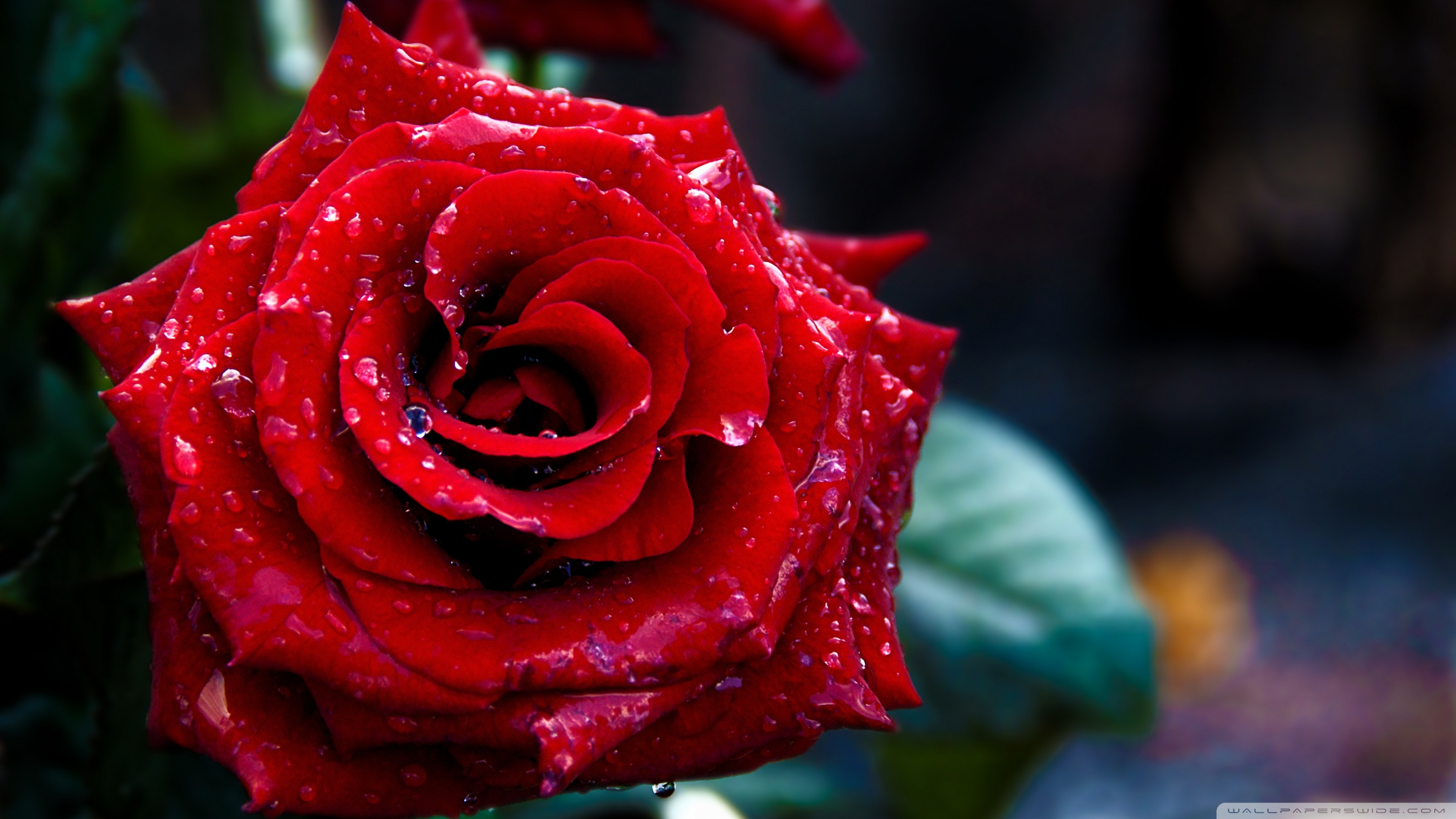 Red Rose Macro Shoot 4K HD Desktop Wallpaper For Ultra TV