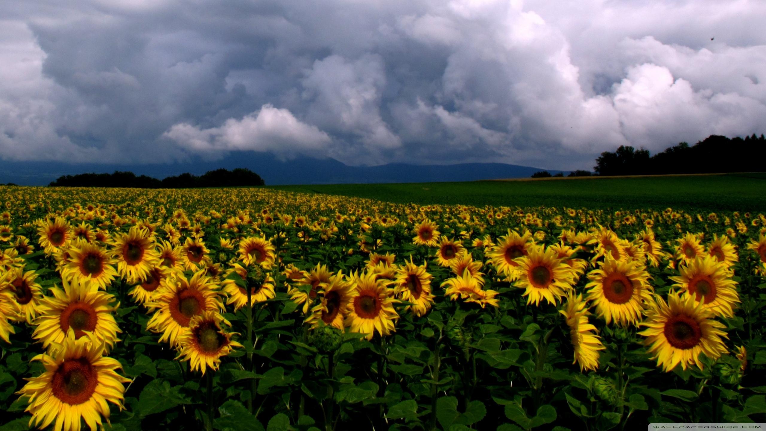 Sunflowers Field Ultra Hd Desktop Background Wallpaper For Multi Display Dual Monitor Tablet Smartphone