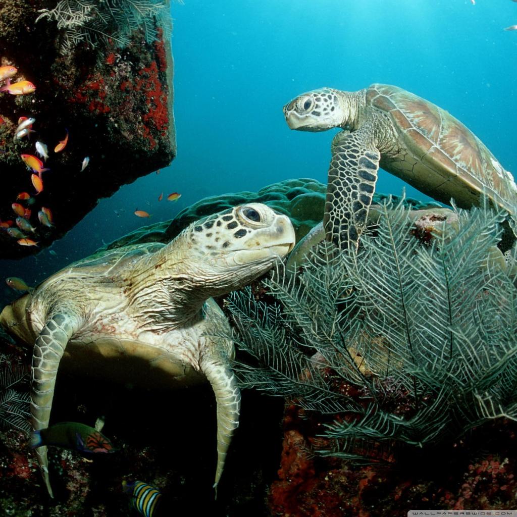 Two Green Sea Turtle 4K HD Desktop Wallpaper For 4K Ultra