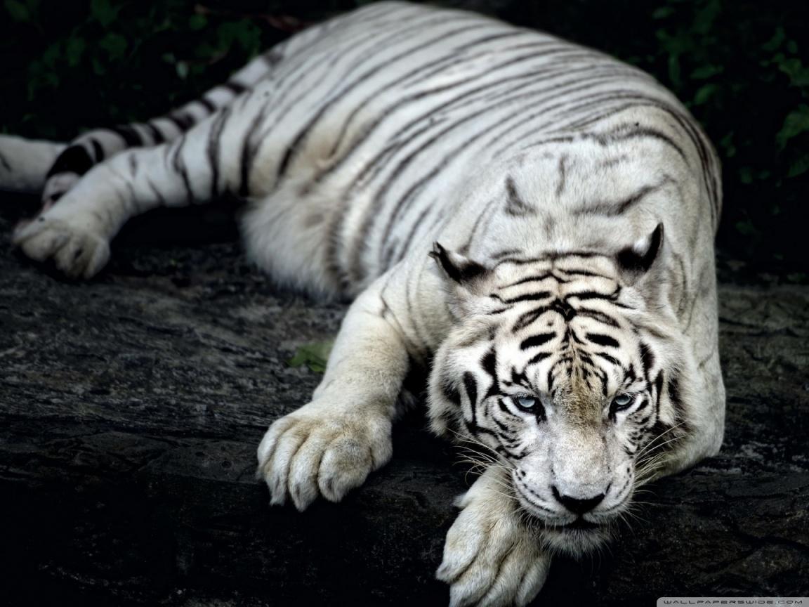Tiger HD Wallpaper #10578