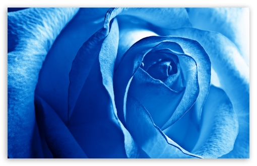 blue rose wallpaper. 6 Blue Rose wallpaper for Wide