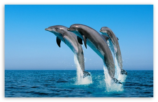 bottlenose dolphin wallpaper. Bottlenose Dolphins Tursiops