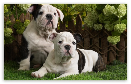 Bulldog Puppies wallpaper for HD 16:9 High Definition WQHD QWXGA 1080p 900p