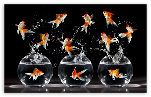 goldfish wallpaper. 1 Goldfish wallpaper for