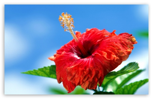 flower wallpaper hd. Hibiscus Flower wallpaper for