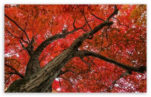 Japanese Maple, Late Autumn Scene HD wallpaper for Wide 16:10 Widescreen WHXGA WQXGA WUXGA WXGA ;