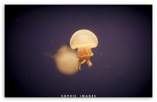 jellyfish wallpaper. Jellyfish wallpaper for Wide