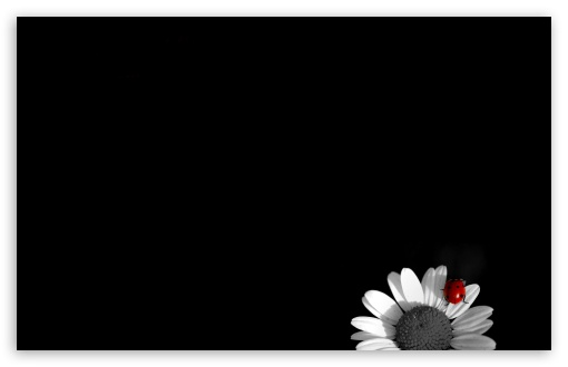 Ladybug On White Flower wallpaper for Standard 4:3 Fullscreen UXGA XGA SVGA