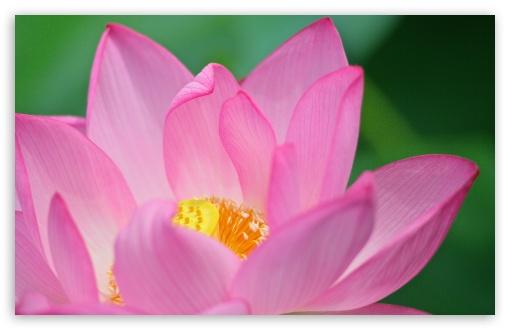 Lotus Flower HD wallpaper for Wide 16:10 Widescreen WHXGA WQXGA WUXGA WXGA ;