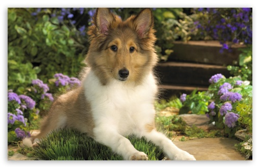 Lounging Sheltie Puppy wallpaper for HD 16:9 High Definition WQHD QWXGA