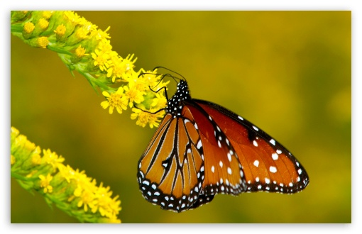 <b>Monarch Butterfly</b> on <b>Yellow</b> Flowers HD desktop wallpaper : High ...