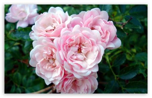 wallpaper hd 1080p nature. Rose Garden wallpaper for HD