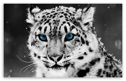 4 Snow Leopard - Black And White Portrait wallpaper for Standard 4:3 5:4