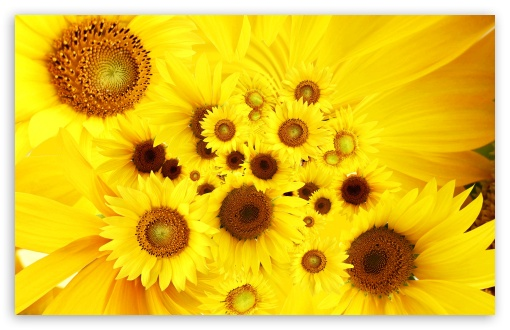 sunflowers wallpaper. 4 Sunflowers wallpaper for