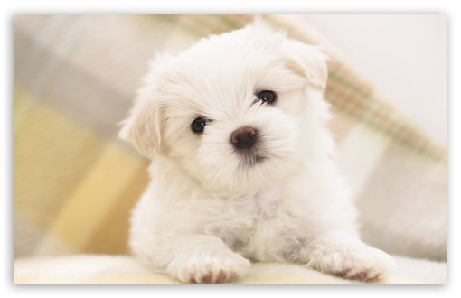 White Fluffy Puppy HD wallpaper for Wide 16:10 Widescreen WHXGA WQXGA WUXGA WXGA ;