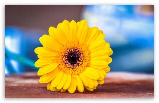 Yellow Gerbera HD wallpaper for HD 16:9 High Definition WQHD QWXGA 1080p 900p 720p QHD nHD ;