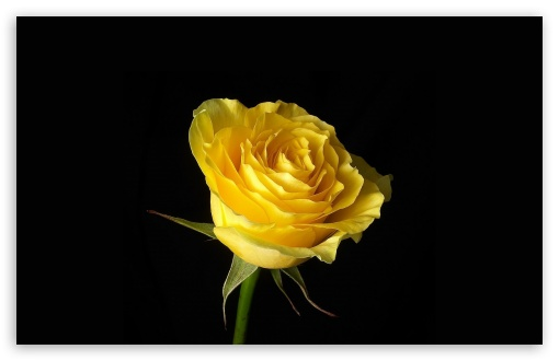 background wallpaper hd. Red Rose Background Yellow